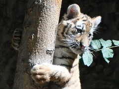 Tree Hugging Baby Tiger