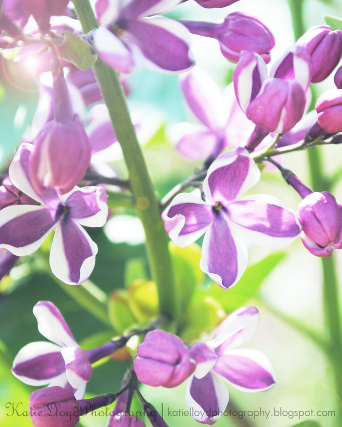 Lilacs-or-phlox---wm