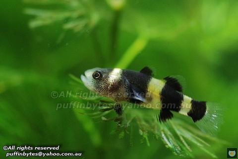 Bumblebee Goby - Brachygobius spp.