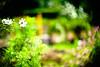 invitation (moaan) Tags: life leica light sunlight flower digital 50mm flora dof bokeh entrance f10 utata flowering noctilux cosmos 2010 m9 cosmosbipinnatus vibrancy inlife leicanoctilux50mmf10 leicam9 entranceofautumn gettyimagesjapanq1 gettyimagesjapanq2