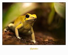 "IMG_5855 (Arie van Tilborg) Tags: zoo blijdorp gif reptielen top20frogs rotterdamzoo pijlgifkikker gifkikker fantasticnature arievantilborg ""sweetfreedom"" pijlgif"