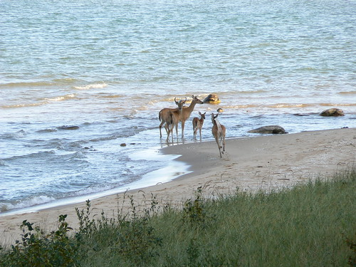 Good Hart Deer in Lake Michigan