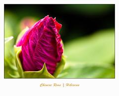 IMG_6115 (Arie van Tilborg) Tags: zoo rotterdam blijdorp chinese roos hibiscus dierentuin diergaarde rotterdamzoo arievantilborg