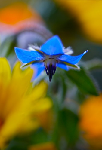 autumn blue star