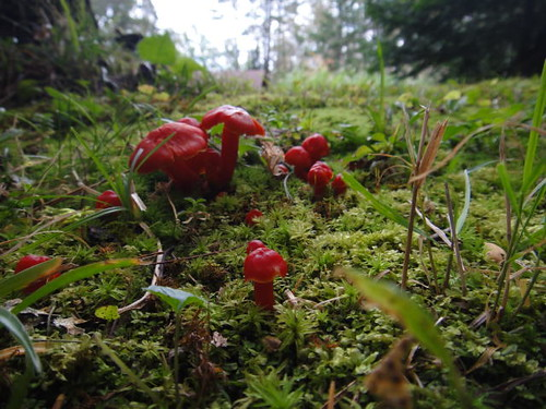 Red mushrooms.