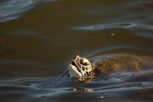 turtle13