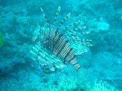 P1010037 (silva_joao_carlos) Tags: fish underwater lion peixe lionfish leo olympusc450z