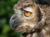 Eagle Owl (Clare L H) Tags: bird nature animal eagle wildlife ngc owl naturesfinest supershot specanimal platinumphoto theunforgettablepictures natureselegantshots thebestofmimamorsgroups tripleniceshot mygearandmepremium mygearandmebronze parkrosebirdofpreycentre blinksuperstars