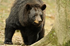 Black Bear (Tyler Evert) Tags: wildlife wv westvirginia blackbear frenchcreek