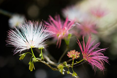 Descabeladas (@tokikawa) Tags: flowers brazil nature rio brasil riodejaneiro canon garden eos rebel natureza flor jardim jardimbotanico 2470l xsi 2470mm 2470 toki ef2470mmf28l 450d rebelxsi tokikawa andretokikawa