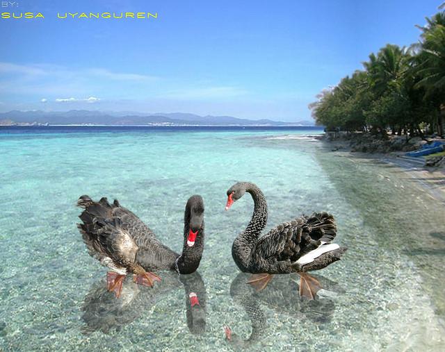 Davao City, Philippines, Black Swan, Swan, Birds, Avian, Avis, Aviation,