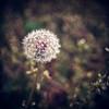 Dandelion cliche (Irene2005) Tags: 35mm dark square dandelion cliche f20 primelens mylawn nikond80 flowersortof texturebyjessicadrossin clichesaturday