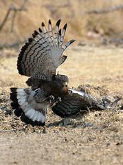 Western Banded Snake Eagle #1