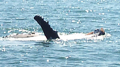 Humpback whale enjoying the Bay  of Islands