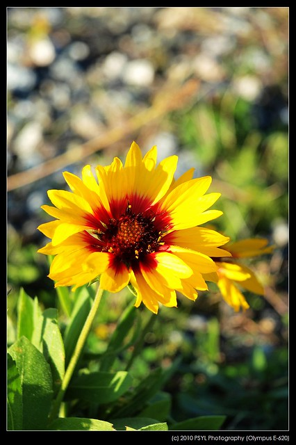 Yellow-Red Daisy