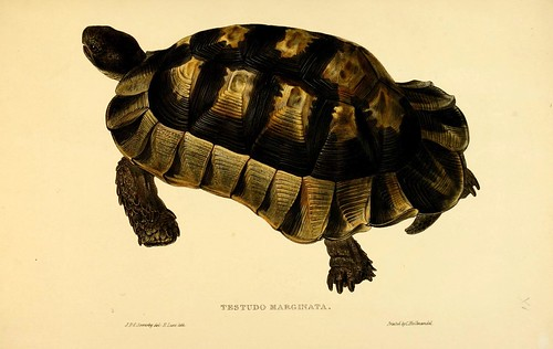 007-Testudo Marginata-Tortoises terrapins and turtles..1872-James Sowerby