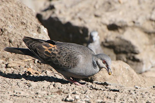 Day 4 - Dusky Turtle Dove
