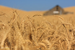 Wheat Fields (djniks) Tags: blur field barn washington dof farm wheat palouse canon70200f28 canon40d