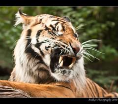 Tiger Roar (Duthieboy) Tags: scotland blog edinburgh journal photoblog sumatrantiger 2010 photojournal edinburghzoo