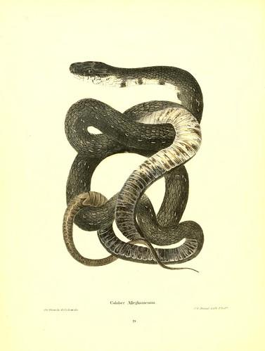 002-Coluber Alleghamensis-North American herpetology…1842-Joh Edwards Holbrook
