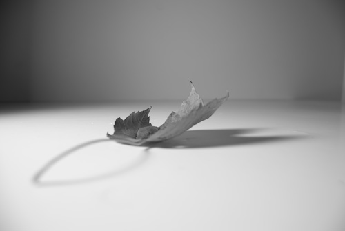 black and white photographer - single leaf