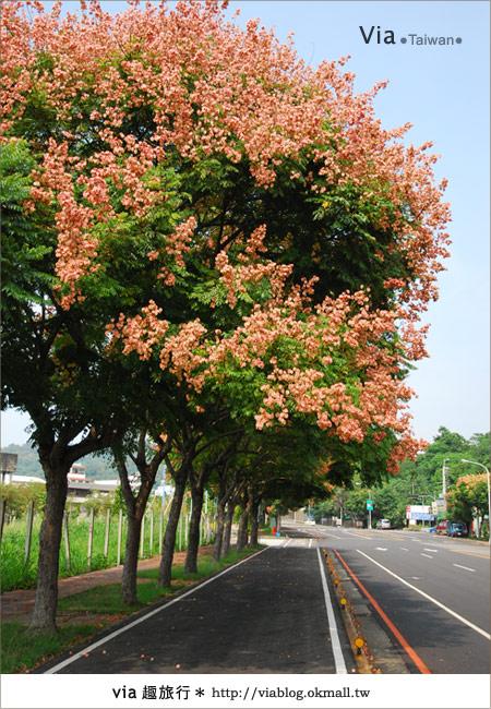 【台中】台灣秋天最美的街道!台中大坑發現美麗的台灣欒樹12