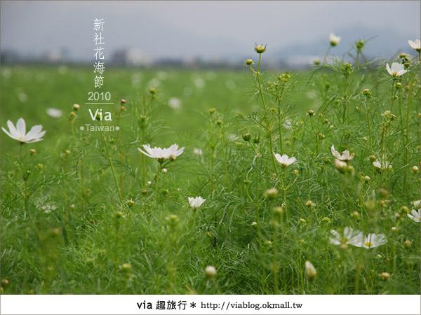 【新社花海】新社花海2010~via拍回來的最新花況7