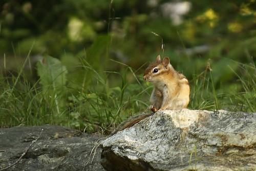 Chipmunk (3)