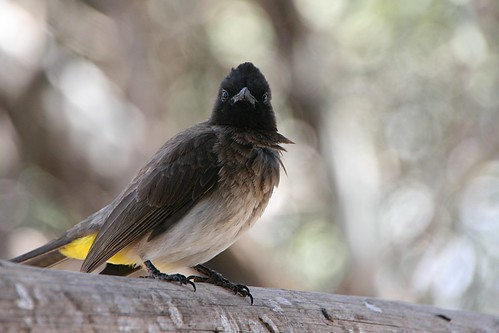 CommonBulbul