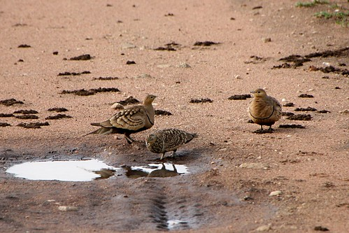 ChestnutBelliedSandgrouse