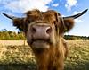 Now it is time for a moo moo! [Explored] (Aspiriini) Tags: suomi finland cow turku farm earrings bovine highlandcattle ruissalo lehmä nauta bostaurus explored karja kotieläin jonilehto ylämaankarja turunseutu aspiriini ylämaanlehmä