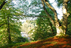 Beech trees above the site of Gilnockie Castle