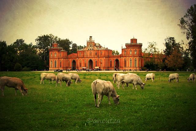 Mucche pascolando nel parco del castello di racconigi