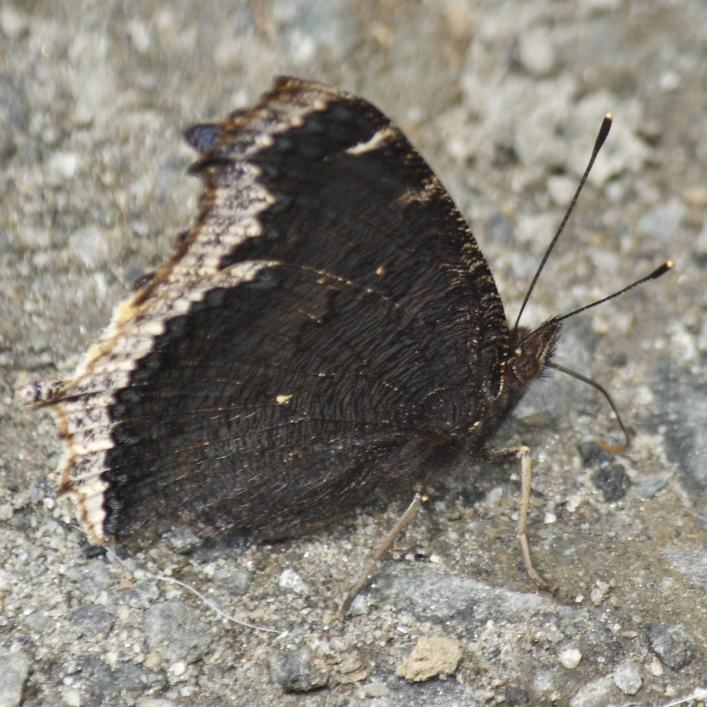 Mourning Cloak (3)