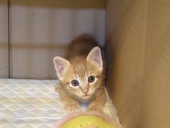 DSCN9605 (jacky elin) Tags: orange male cat mix kitten tabby clinic 貓 小捷 送養 201010