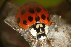 Lente Invertida (dougmino) Tags: brazil macro nature brasil insect lumix close natureza panasonic inseto macrofotografia fz18