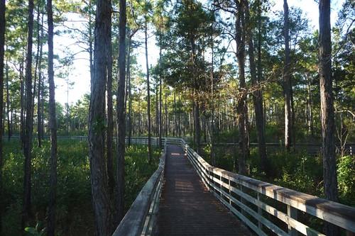 Boardwalk through piney woods