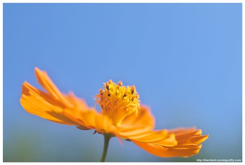 Yellow Cosmos 101018 #02