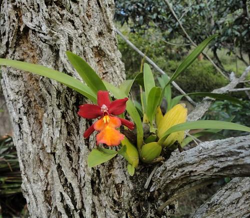 Pequena orquídea no ipê