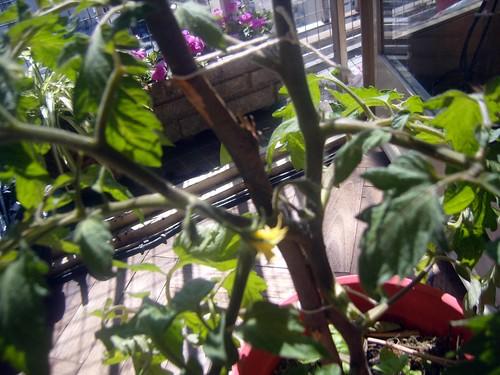 11-Tomate. huertaenjaulada.blogspot.com