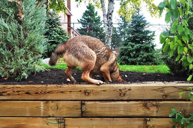 Denny digging