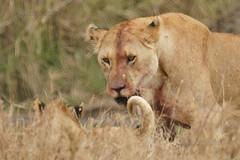 Afrique, Tanzanie : Serengeti, Ne t'inquite pas , je suis juste sale / Don't worry, I'm just dirty (Libernaventure) Tags: animal wildlife lion serengeti lioness afrique mammifre flin faune tanzanie pantheraleo prdateur zoologie lionne flickrbigcats animalsauvagelibre libernaventure