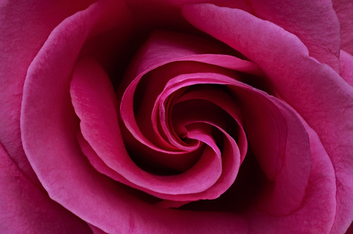 Whirl of Rose