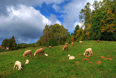 Flock of sheep (Sareni) Tags: autumn trees sky house tree nature colors grass clouds nikon october sheep flock slovenia pasture slovenija priroda sheeps mb maribor pasa 2010 twop nebo trava flockofsheep jesen oblaci sareni