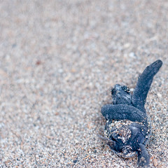 Ain't no ninja yet (Fajar Nurdiansyah) Tags: bali animal indonesia sand turtle negativespace simple seaturtle kuta 50mmf18 kutabeach oliveridley lepidochelysolivacea