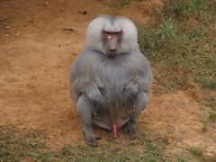 baboonie