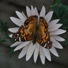 American Lady butterfly in Korean Chrysanthemum 'Apricot' in late October... 2010 (toryporter (back... never catching up!)) Tags: autumn orange brown sunlight white black flower green nature yellow fauna butterfly garden insect petals wings flora colorful blossom bokeh cream maryland pollen 2010 coth paleorange supershot nikond90 105mmf28vrlens coth5 toryporter damnblog koreanchrysanthemumapricot cothblog