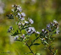 M303-Symphyotrichum puniceum-101011.jpg (Charlie Hickey) Tags: pennsylvania herb asteraceae chestercounty asterales purplestemmedaster l31 symphyotrichumpuniceum hiberiniacountypark alalovedlove rb932