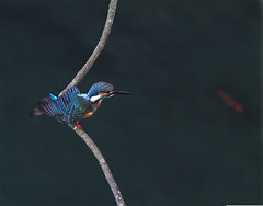 #650  Arrow Fisher (John&Fish) Tags: bird nature birds wow photography taiwan best 2010
