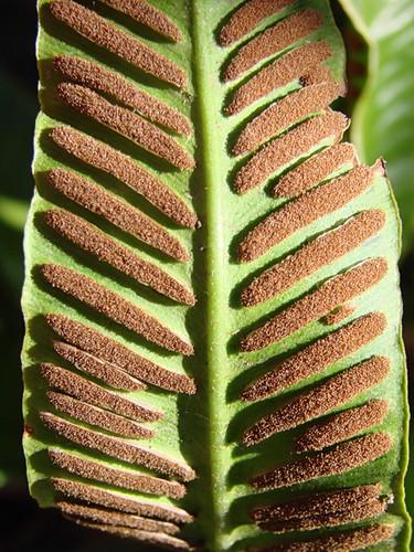 Aspleniaceae, Asplenium scolopendrium